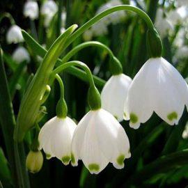 Из-за теплого января в Украине распускаются весенние первоцветы