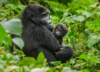 Горным гориллам угрожает коронавирус