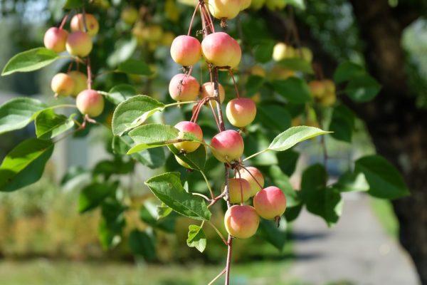 Яблоня и яблочный спас