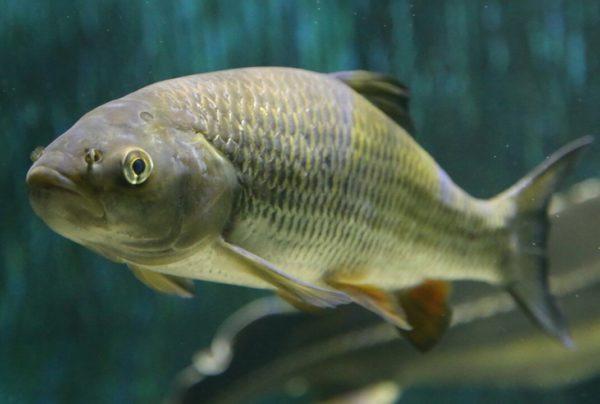 Рыба голавль: описание,образ жизни, как и на что ловить