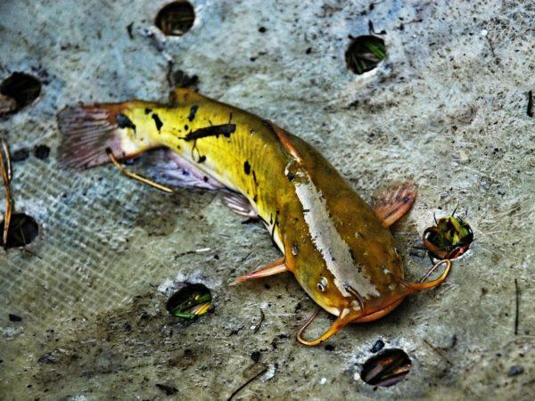 Рыба сом: описание, образ жизни, ловля