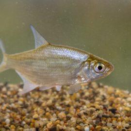 Рыба густера: о чем следует знать рыболову